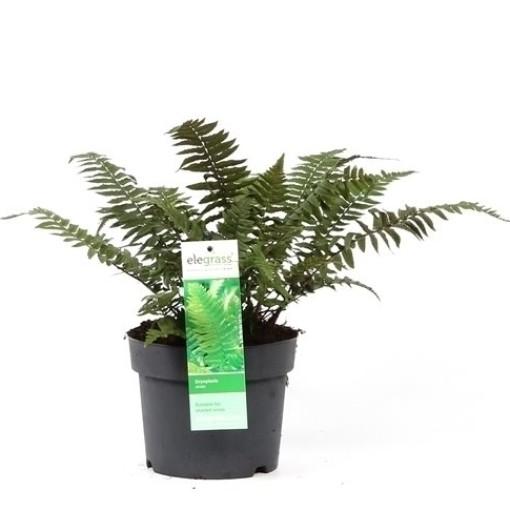 Dryopteris atrata (Hoogeveen Plants)