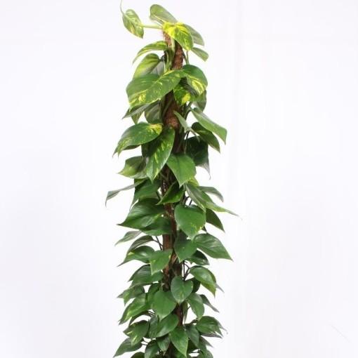 Epipremnum pinnatum 'Aureum' (Fachjan)