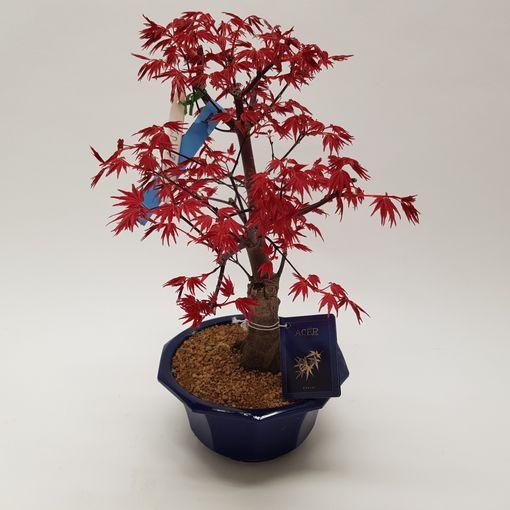Acer palmatum 'Deshôjô' (M&M Garden)