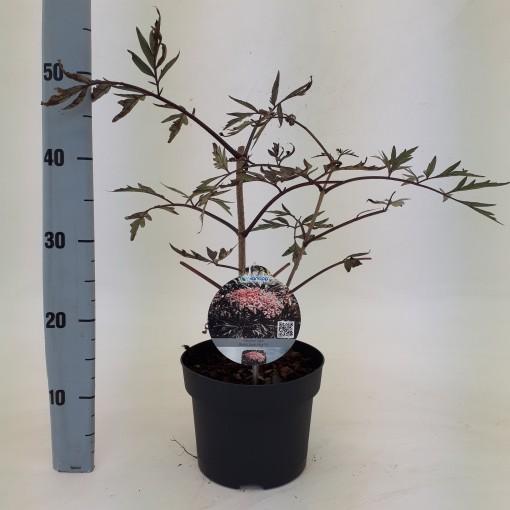 Sambucus nigra BLACK BEAUTY (Dool Botanic)