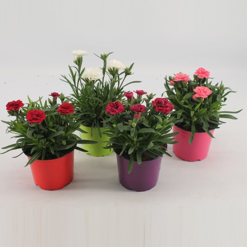 Dianthus MIX (Knaap, Kwekerij Jan van der)