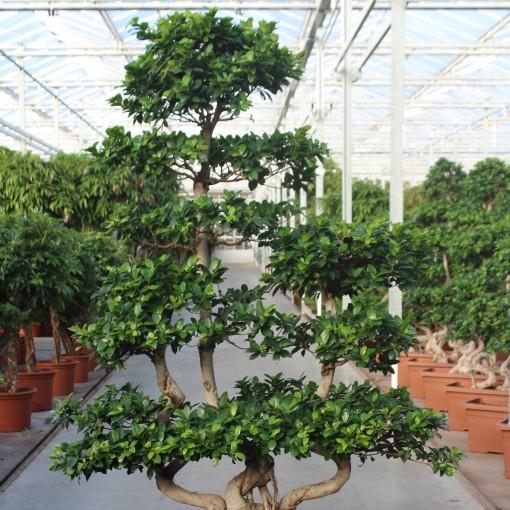 Ficus microcarpa (Fachjan)