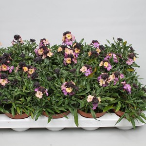 Erysimum linifolium (Rodon Rolff B.V.)
