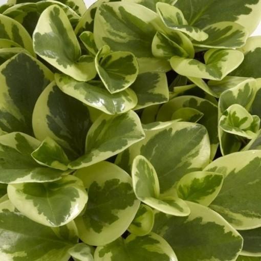 Peperomia obtusifolia 'USA' (Schoenmakers Tropische Potcultures)