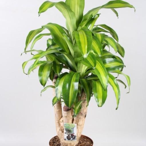 Dracaena fragrans 'Massangeana' (Vireõ Plant Sales)