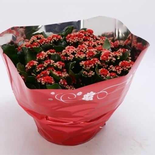 Kalanchoe blossfeldiana PERFECTA RED (Bunnik Plants)