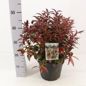 Leucothoe keiskei BURNING LOVE (Snepvangers Tuinplanten BV)