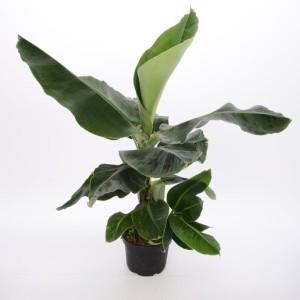 Musa 'Tropicana' (Bunnik Plants)