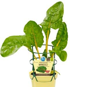Beta vulgaris (Experts in Green)