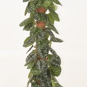 Scindapsus pictus