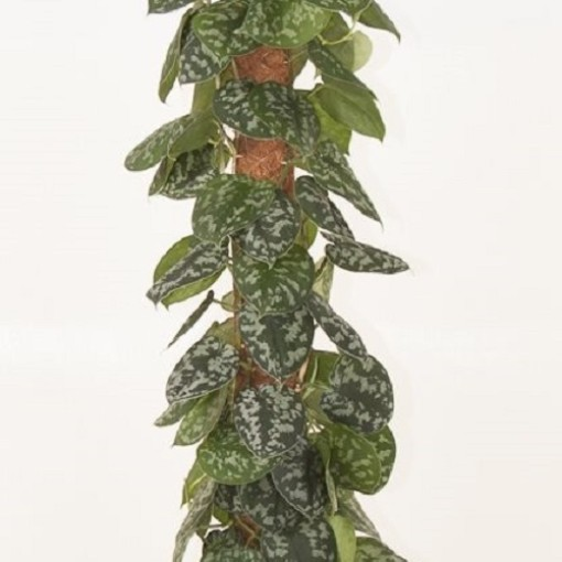 Scindapsus pictus (Ammerlaan, The Green Innovater)