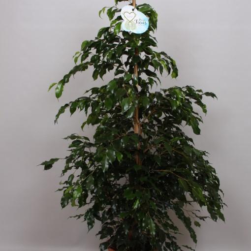 Ficus benjamina 'Midnight Lady' (Peeters Potplanten)
