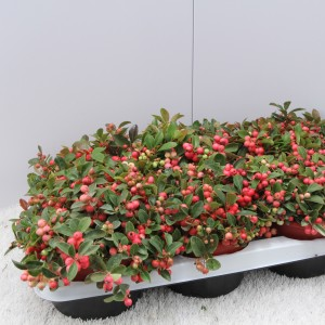 Gaultheria procumbens 'Red Baron'