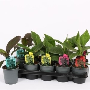 Canna INDICA MIX (Vreugdenhil Bulbs & Plants)
