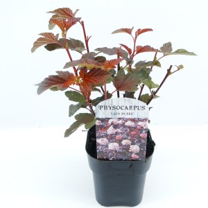 Physocarpus opulifolius LADY IN RED