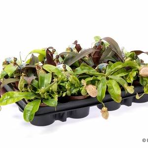 Carnivorous plants MIX (Gasa DK)