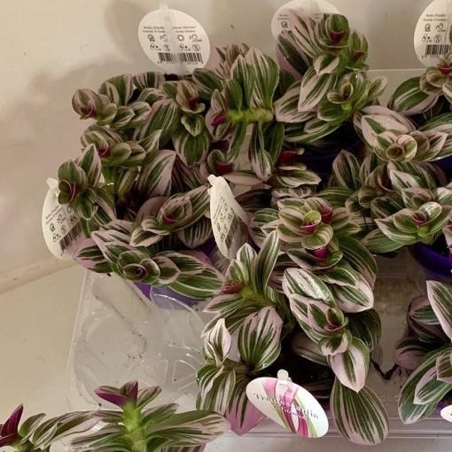 Tradescantia albiflora 'Nanouk' (Hendriks CV, GJ)