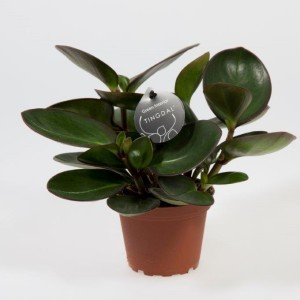 Peperomia clusiifolia 'Red Margin'