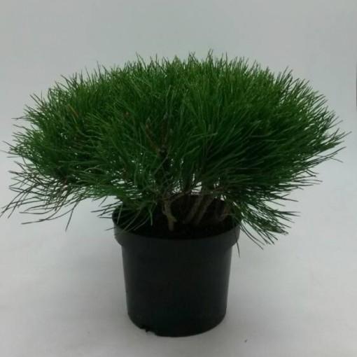 Pinus mugo mugo (WTM de Boer)