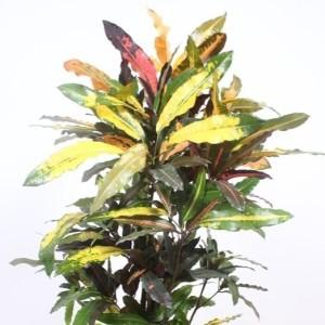 Codiaeum variegatum 'Mango'