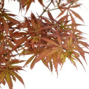 Acer palmatum 'Jerre Schwartz' (Son & Koot BV)