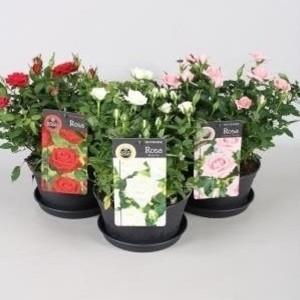Rosa FAVOURITE ROSES MIX