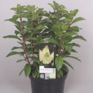 Hydrangea paniculata MAGICAL KILIMANJARO (Jesper Mathot Potcultures)