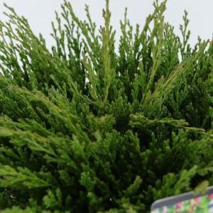 Juniperus horizontalis 'Andorra Compact' (Bremmer Boomkwekerijen)