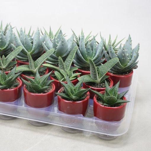 Aloe MIX (Ubink)