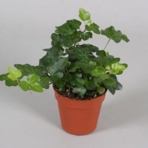Hedera helix 'Wonder' (Vireo Plant Sales)