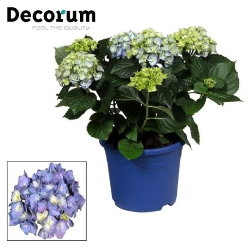 Hydrangea macrophylla EARLY BLUE (JoGrow B.V.)