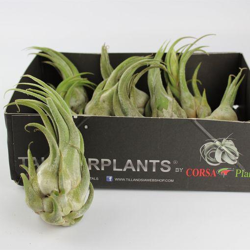 Tillandsia seleriana (Corsa plant)
