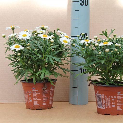 Argyranthemum frutescens LA RITA COMPACT WHITE (Dehne Topfpflanzen)