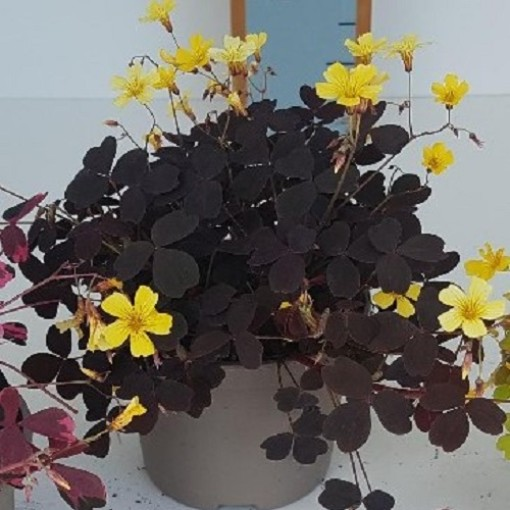 Oxalis vulcanicola 'Bora' (Experts in Green)