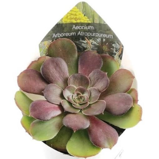 Aeonium arboreum 'Atropurpureum' (Giromagi)