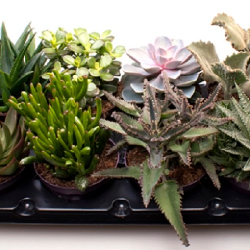 Succulents MIX (Gasa DK)
