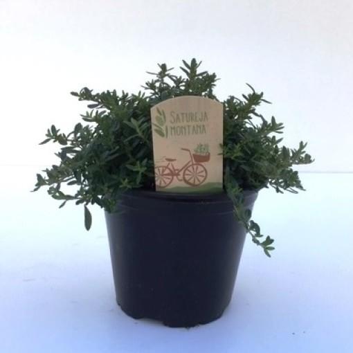 Satureja montana (Green Collect Sales)