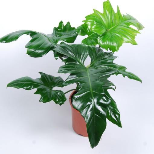 Philodendron 'Golden Dragon' (Van der Arend Tropical Plantcenter)