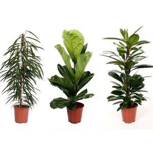 Ficus MIX