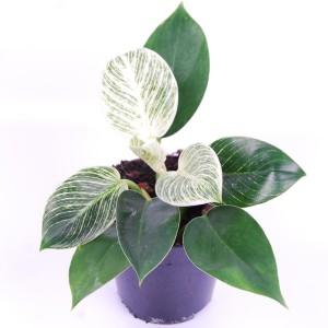Philodendron BIRKIN / WHITE MEASURE