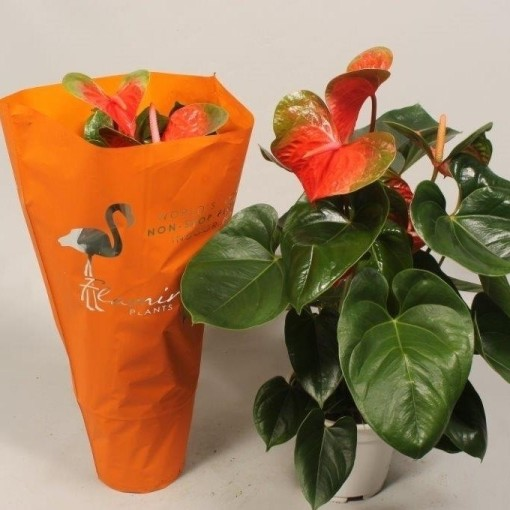Anthurium 'Flamingo Orange' (Flamingo Plant)