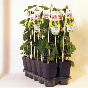 Rubus fruticosus 'Merton Thornless' (BOGREEN Outdoor Plants)