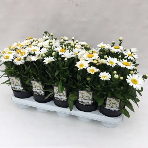 Leucanthemum x superbum 'Snow Lady' (De Liesvelden Kwekerij)