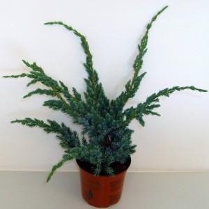Juniperus squamata 'Meyeri' (Boomkwekerij Potcultuur Gebr. Rademaker)