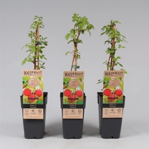 Rubus idaeus 'Heritage'