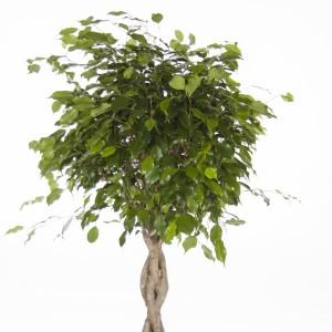Ficus benjamina 'Exotica' (Ammerlaan, The Green Innovater)