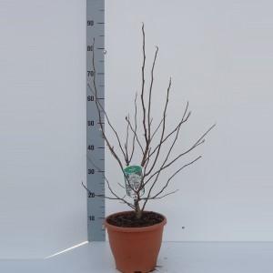 Magnolia MIX
