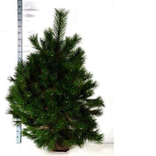 Pinus nigra 'Nana' (Boomkamp Boomkwekerijen B.V.)