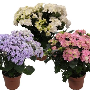 Hydrangea macrophylla DOUBLE DUTCH MIX