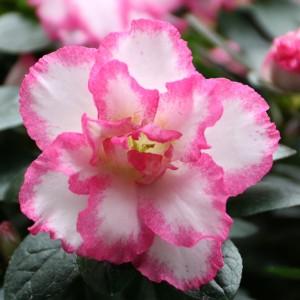 Rhododendron 'Hülsten' (De Bruyne - Flandresse)
